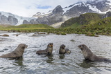 Antarctic Fur Seal Pups (Arctocephalus Gazella) Mock-Fighting in Gold Harbor Photographic Print by Michael Nolan