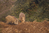 Indian Wild Boar (Sus Scrofa Cristatus), Ranthambore National Park, Rajasthan, India, Asia Photographic Print by Peter Barritt