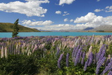 Lupins Beside Lake, Lake Tekapo, Canterbury Region, South Island, New Zealand, Pacific Photographic Print by Stuart Black