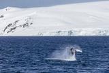 Humpback Whale (Megaptera Novaeangliae) Breaching, Gerlache Strait, Antarctica, Polar Regions Photographic Print by Michael Nolan