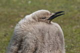 King Penguin (Aptenodytes Patagonicus) Chick, the Neck, Saunders Island Photographic Print by Eleanor Scriven