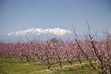 Mark Mawson - Fruit Blossom, Mount Canigou, Pyrenees Oriental, Languedoc-Roussillon, France, Europe Fotografická reprodukce