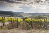 Vineyards Near to Montepulciano, Val D'Orcia, UNESCO World Heritage Site, Tuscany, Italy, Europe Photographic Print by Julian Elliott