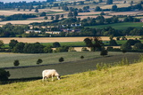 Sheep at Chipping Campden, the Cotswolds, Gloucestershire, England, United Kingdom, Europe Photographic Print by Matthew Williams-Ellis