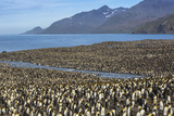 King Penguin (Aptenodytes Patagonicus) Breeding Colony at St. Andrews Bay Photographic Print by Michael Nolan