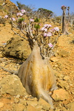Bottle Trees in Bloom (Adenium Obesum), Endemic Tree of Socotra, Homil Protected Area Photographic Print by Michael Runkel