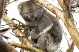 Koala in the Wild, in a Gum Tree at Cape Otway, Great Ocean Road, Victoria, Australia Photographic Print by Tony Waltham