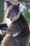 Portrait of Koala Bear at Yenchep National Park, Western Australia, Australia, Pacific Photographic Print by Lynn Gail