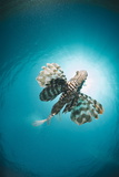 Common Lionfish (Pterois Miles) from Below, Back-Lit by the Sun, Naama Bay Photographic Print by Mark Doherty