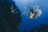 Common Lionfish (Pterois Miles), Front View, Naama Bay Photographic Print by Mark Doherty