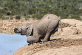 African Baby Elephant Drinking (Loxodonta Africana) at Hapoor Waterhole Photographic Print by Ann and Steve Toon