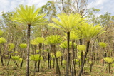 Dicksonia Tree Ferns in Litchfield National Park, Northern Territory, Australia, Pacific Photographic Print by Tony Waltham