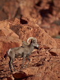 Desert Bighorn Sheep (Ovis Canadensis Nelsoni) Ram, Valley of Fire State Park, Nevada, Usa Photographic Print by James Hager