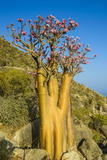 Bottle Tree in Bloom (Adenium Obesum), Endemic Tree of Socotra, Island of Socotra Photographic Print by Michael Runkel