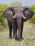 African Elephant, Okavango Delta, Botswana, Africa Photographic Print by Angelo Cavalli