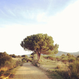 Pine Tree beside Road Photographic Print by albert mollon