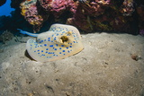 Bluespotted Stingray (Taeniura Lymma), Front Side View, Naama Bay Photographic Print by Mark Doherty