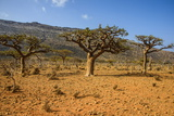Frankincense Trees (Boswellia Elongata), Homil Protected Area, Island of Socotra Photographic Print by Michael Runkel
