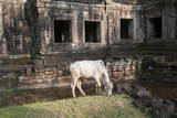 Cow Grazing by Preah Khan Temple, Angkor Wat Temple Complex, Siem Reap, Cambodia, Indochina Photographic Print by Stephen Studd