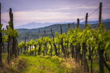 Vineyards and Mountains Near Smartno in the Goriska Brda Wine Region of Slovenia, Europe Photographic Print by Matthew Williams-Ellis