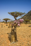 Bottle Tree in Bloom (Adenium Obesum), Endemic Tree of Socotra, Homil Protected Area Photographic Print by Michael Runkel