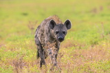 Spotted Hyena (Crocuta Crocuta), Kgalagadi Transfrontier Park, Northern Cape, South Africa, Africa Photographic Print by Ann and Steve Toon