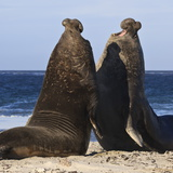 Two Southern Elephant Seal (Mirounga Leonina) Bulls Rear Up to Establish Dominance Photographic Print by Eleanor Scriven