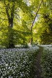 Flowers in a Woods Near Badbury Hill, Oxford, Oxfordshire, England, United Kingdom, Europe Photographic Print by Matthew Williams-Ellis