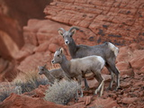 Desert Bighorn Sheep (Ovis Canadensis Nelsoni) Ewe and Two Lambs, Valley of Fire State Park, Nevada Photographic Print by James Hager