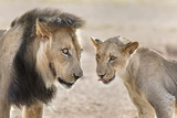 Pride Male Liion (Panthera Leo) with Sub Adult Male, Kgalagadi Transfrontier Park, South Africa Photographic Print by Ann and Steve Toon