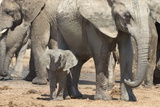 Elephant (Loxodonta Africana) Calf, Addo Elephant National Park, South Africa, Africa Photographic Print by Ann and Steve Toon