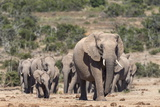Elephant (Loxodonta Africana) Herd, Addo Elephant National Park, South Africa, Africa Photographic Print by Ann and Steve Toon