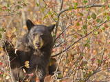 Cinnamon Black Bear (Ursus Americanus) Pauses from Collecting Autumn (Fall) Berries Photographic Print by Eleanor Scriven
