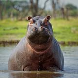 Hippopotamus, Okavango Delta, Botswana, Africa Fotografisk tryk af Angelo Cavalli