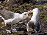 Black-Browed Albatross (Thalassarche Melanophrys) Adult Bonding Behaviour Photographic Print by Eleanor Scriven
