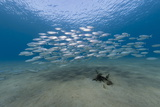 Small School of Indian Mackerel (Rastrelliger Kanagurta) in Shallow Water Photographic Print by Mark Doherty
