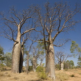 Boab Trees (Adansonia Gregorii), Hall's Creek, the Kimberley Photographic Print by Tony Waltham
