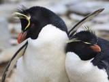 Rockhopper Penguin (Eudyptes Chrysocome) Courtship Behaviour, Rockhopper Point, Sea Lion Island Photographic Print by Eleanor Scriven