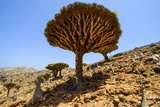 Dracaena Cinnabari (The Socotra Dragon Tree) (Dragon Blood Tree) Forest Photographic Print by Michael Runkel