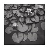 Water On Lily Pads - Brooklyn Botanic Gardens Photographic Print by Henri Silberman