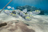 Small School of Sergeant Major Fish (Abudefduf Vaigiensis) in Shallow Sandy Bay Photographic Print by Mark Doherty