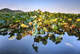Lotus Plants at Baidi Causeway with Reflections and Baochu Tower in the Background Photographic Print by Andreas Brandl