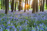 Bluebells in Bluebell Woods in Spring, Badbury Clump at Badbury Hill, Oxford, Oxfordshire, England Photographic Print by Matthew Williams-Ellis