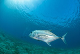 Giant Trevally (Caranx Ignobilis) Swimming Above Sea Grass Field Fotografisk tryk af Mark Doherty
