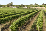Giant Vineyards, Renmark, Murray River Valley, South Australia, Australia, Pacific Photographic Print by Tony Waltham