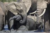African Elephant Babies (Loxodonta Africana) Playing in Hapoor Waterhole Photographic Print by Ann and Steve Toon