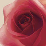 Vintage Red Rose Giclee Print by Andreas Stridsberg