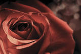 Vintage Rose Giclee Print by Andreas Stridsberg