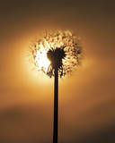 Dandelion Glow Giclee Print by Andreas Stridsberg