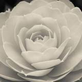 Camellia II Giclée-Druck von Ella Lancaster